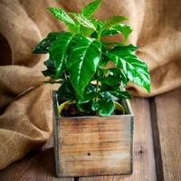 DWARF COFFEE PLANT SEEDS- COFFEA ARABICA NANA