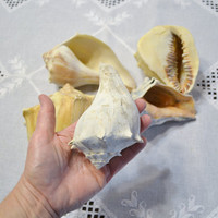 Seashell Large Conch Set of 5 Craft Supplies Photo Prop Beach Decor PanchosPorch
