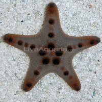 Saltwater Aquarium Inverts for Marine Reef Aquariums: Chocolate Chip Sea Star, Protoreaster sp.