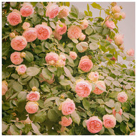 Roses flowers photography, pink large wall art, Nature oversized art print, garden living room decor, square art poster, 16x16, 20x20, 24x24
