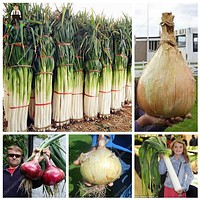 Promotion 100Pcs Rare Giant Garlic China Green Onion Sterilization Vegetable Seeds Potted Leek Seed In Bonsai Home Garden Plant