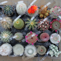 "5  Awesome Cactus For Sale in their 2.5"" round  containers All are labled with names succulents succulent"