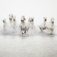 Nature Photography, Horse Art, White Wild Horses Running in Water, Camargue, Winter, Minimal, Simple - The Power of 10