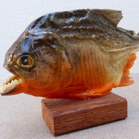 "Real Taxidermy PIRANHA upto 28cm (11"") UK - Dry Red Bellied Piranhas from the Amazon 3D Preserved"
