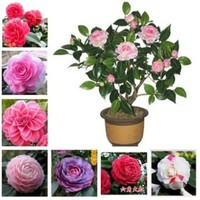 50 pcs / bag,Camellia bonsai, flower garden, DIY potted plants, indoor / outdoor pot flores germination rate of 95%