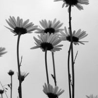 Nature photography, ox-eye daisy black and white photography instant download, wall home decore, pattern print, downloadable photo