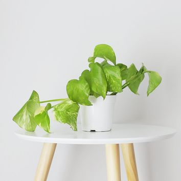 LIVE Pothos Indoor House Plant - Ships Alone