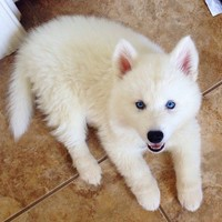 white huskies with blue eyes - Google Search