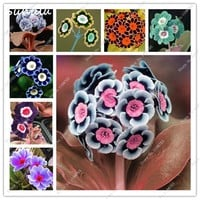 200 pcs 100%true Europe primrose flowers seed Primula Malacoides mix colors Flowers for Home garden plants best gift for wife