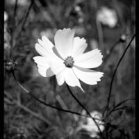 White Cosmos flower 20x25 cm black and white by abonnard on Etsy
