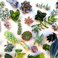 100 Individual unrooted SUCCULENT CUTTINGS by RecycledFurniture