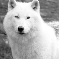 Snow white Arctic Wolf winter photography Black and by Raceytay