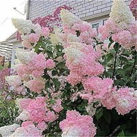 120 Pcs Hydrangea Flower Seeds Multi Color Wedding Party Flower Plants Home Garden Potted Flowers Seed Indoor Bonsai Seeds