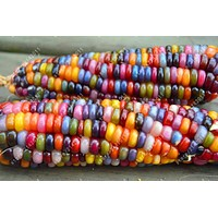 20pcs/bag rainbow corn seeds Organic seeds vegetables colorful corn seeds Edible seeds bonsai potted plant for home garden