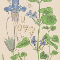 Antique Print Ground Ivy Glechoma Hederacca Bookplate (E26) by Grandpa's Market