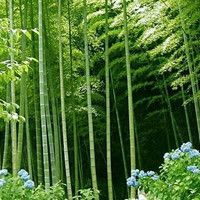 100 Giant Moso Bamboo Tree Fresh Seeds   Phyllostachys Pubescens   Home Garden Decor Plants Growing Organic Heirloom Seeds Outdoors
