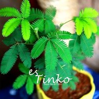 20pcs Seeds/pack Balcony Mimosa Pudica Seeds Potted Foliage Plants Sensitive Plant Fun Bashfulgrass Seeds