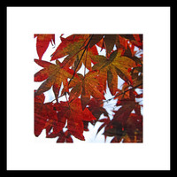 """SALE SAVE 20 PERCENT -  Japanese Maple in Fall No. 2 - Autumn - Red - Orange - 8 x8"""" Fine Art Photo - Wall Decor - For Him - For Her"""