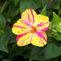 Heirloom 50 Seeds Mirabilis jalapa Four O'clock Beauty of the Night Two-toned Flower Seeds B5091