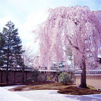 Pink fountain weeping cherry tree seeds,DIY Home Garden Dwarf Tree - 10pcs/lot