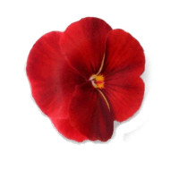 Red Pansy Hair Clip - Kailo Chic