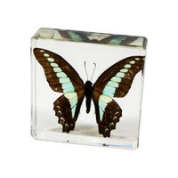 Common Bluebottle Butterfly Paperweight