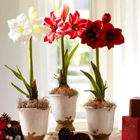 2 Amaryllis Fresh Bulbs (Not Seeds), Hippeastrum Flower   Barbados Lily Colors Available Radiata Potted Plants Seasons Indoor Bonsai Garden