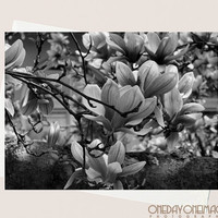 Steel Magnolias - Brooklyn Spring Flowers - 4x5.5 Eco Friendly Postcard or Folded Note Card - Fine Art Photography