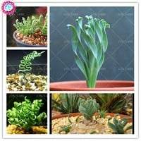 200pcs spring grass Rare succulents plant Funny bonsai planting potted plants for home garden supplies flower easy to grow