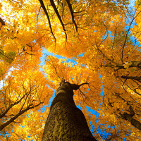 """autumn leaves photo, yellow blue, fall tree, warm tones """"heights of autumn"""""""