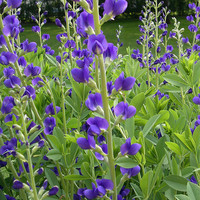 Blue Wild Indigo Flower Seeds - Non-GMO, Open Pollinated, Untreated, Heirloom, Native, Flower Seeds