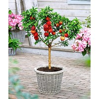 10 pcs sweet peach seeds,Peach Tree seeds,Dwarf bonanza peaches,bonsai Fruit seeds for home garden plants