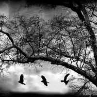 Gothic Nature Photography, Black and White Photography, Gothic Spooky Eerie Dark Ravens, Surreal Eerie Haunting Trees Ravens Photograph 8x12
