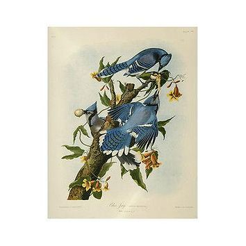 Vintage Blue Jay Birds Painting Poster 1859 VIBRANT COLOR Exceptional Gem