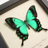 Best Seller for 15 Years Real Green Butterfly Display  277