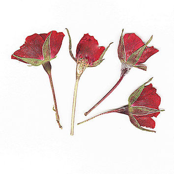 Dried Pressed Red Rose Buds