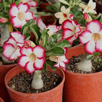 10 Colorful Adenium Obesum Flowers Seed Bonsai Desert Rose Seeds - Exotic Unique Rare