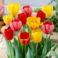 Tulip Mixed Dormant Bulbs (80-Pack), 70100 at The Home Depot - Mobile
