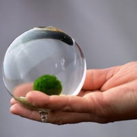 Marimo - Japanese Moss Ball Aquarium - in miniature bud vase