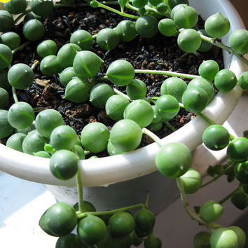 100 Rosary String of Pearl Succulent Seeds Senecio Rowleyanus Beads Round Potted Plants Indoor Air Purification Gardening Decor