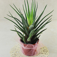 Aloe Aristata Succulent Plant - Comes Gift Packaged