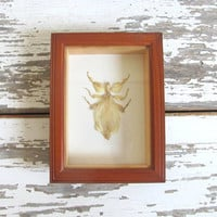 Real, Framed and mounted Phylliidae Insect leaf bug. Specimen box with insect. Wall hanging picture