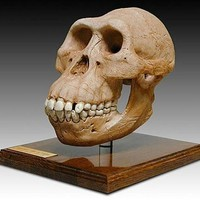 Australopithicus Afarensis Cranium Skull with Stand from Hominid Series 7H