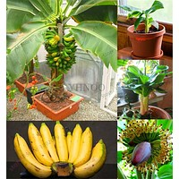 Loss Promotion!200 pcs Banana Seeds,dwarf fruit trees,Milk Taste,Outdoor Perennial Fruit Seeds For Garden plants,#TKK87Z