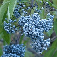 Blue Elderberry Bush Seeds (Sambucus caerulea) 30+Seeds
