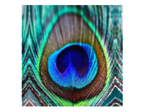 Peacock Feather iPhone Cases & Skins
