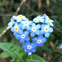 "50 ""Forget Me Not"" Blue Flower Seeds 