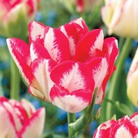 Cartouche Tulip - Pack of 10 - Pack of 10 at Jackson and Perkins