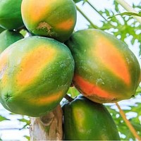 Honeydew Papaya Tree Seeds (Carica papaya) 20+Seeds