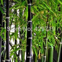20 bamboo seeds rare giant black moso bamboo bambu seeds professional pack Bambusa Lako tree seeds for home garden
